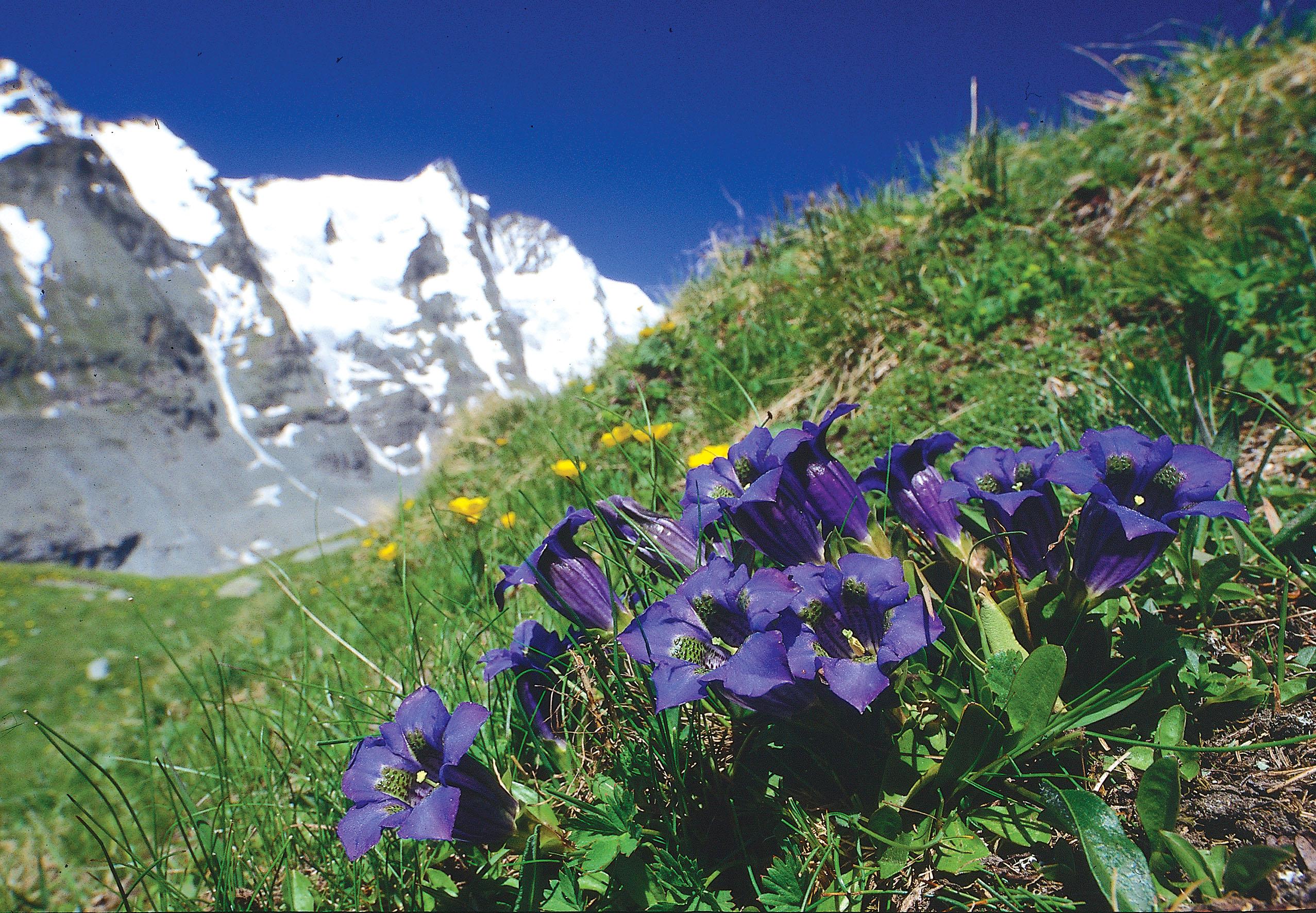 Pflanzen In Den Alpen